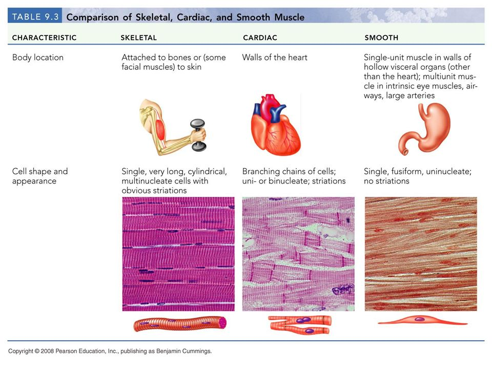 Famous Three Types Of Muscle Tissue Mold - Anatomy And Physiology ...