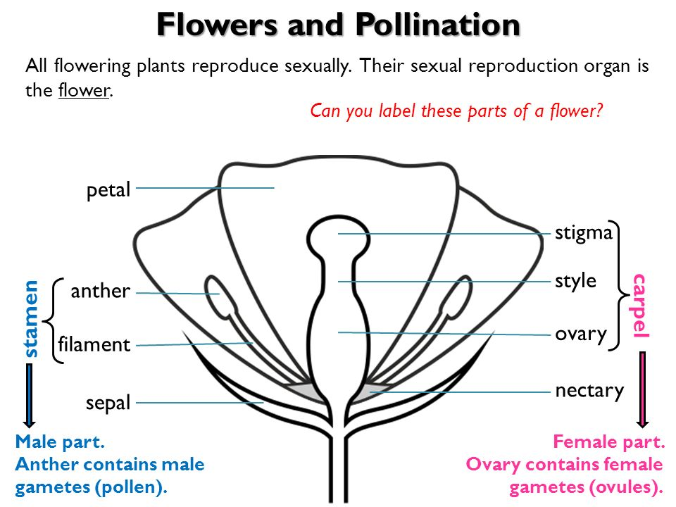 Male Plants Diagrams And Labels - Residential Electrical Symbols •