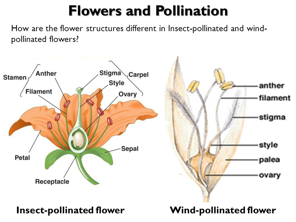 Wind Pollinated Flower Diagram Without Labels Auto Electrical