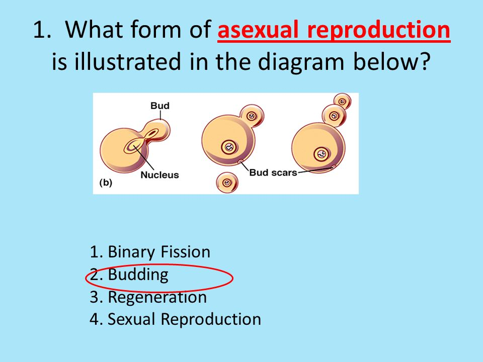 Budding asexual reproduction definition science