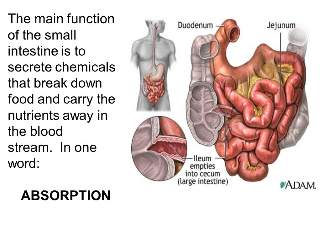 What is the intestine 27