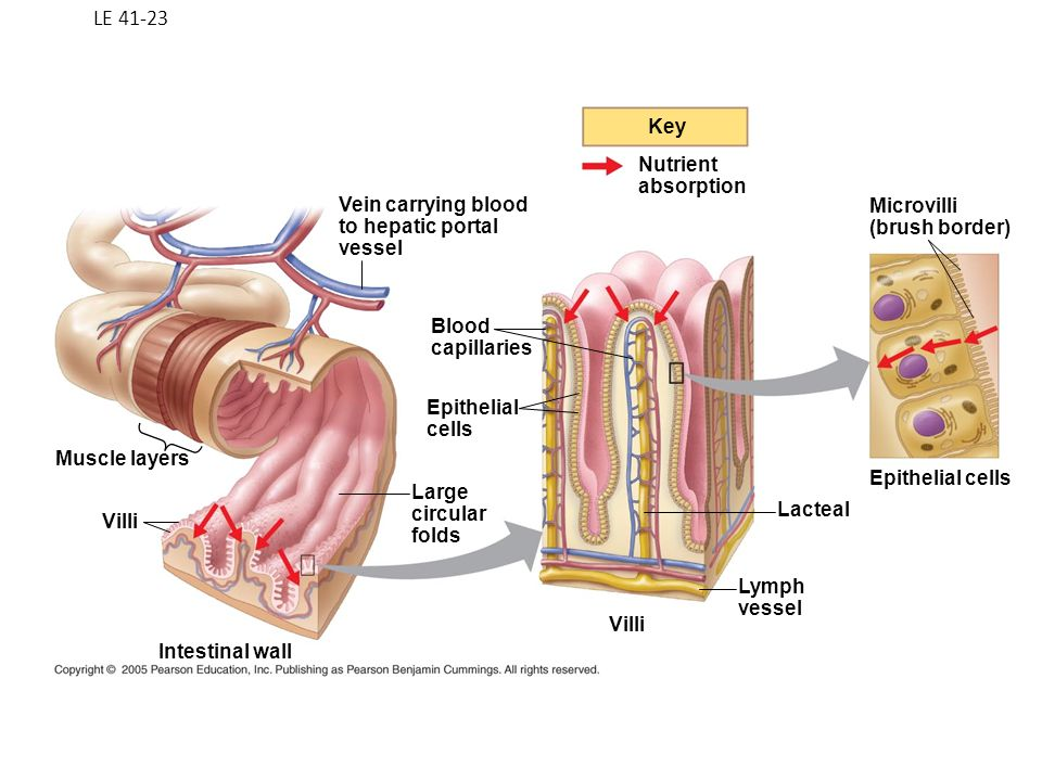 The Small Intestine The Small Intestine Is The Longest Section Of
