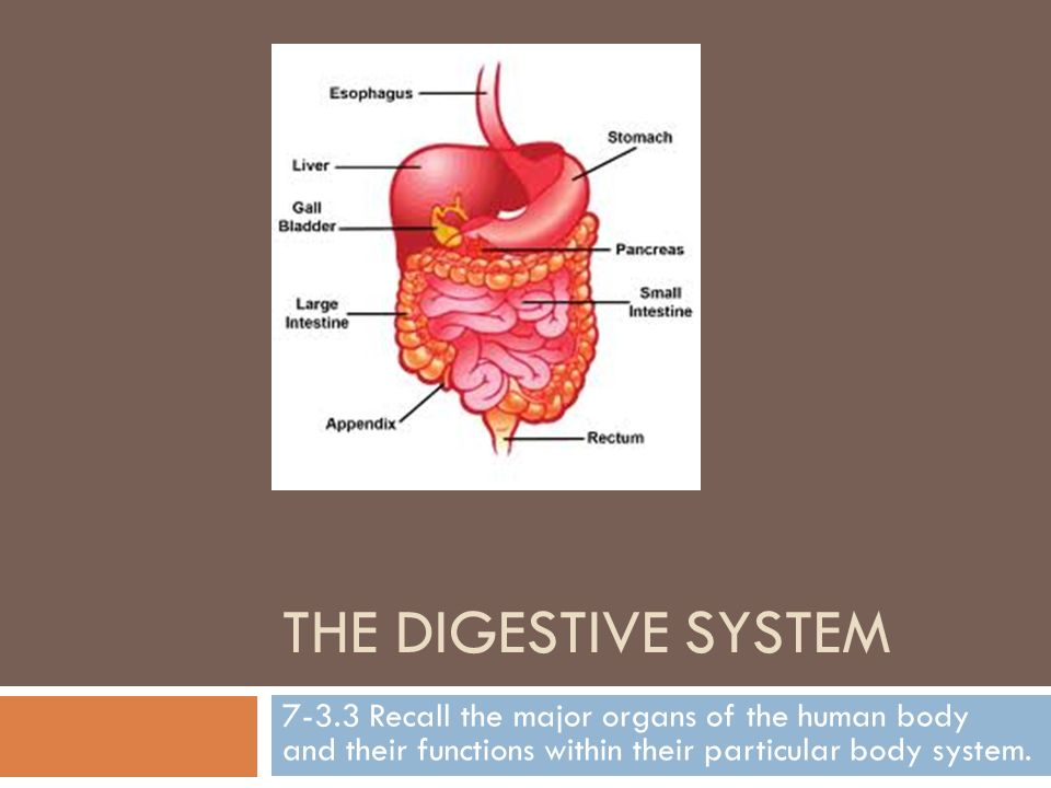 The Digestive System Recall The Major Organs Of The Human Body And