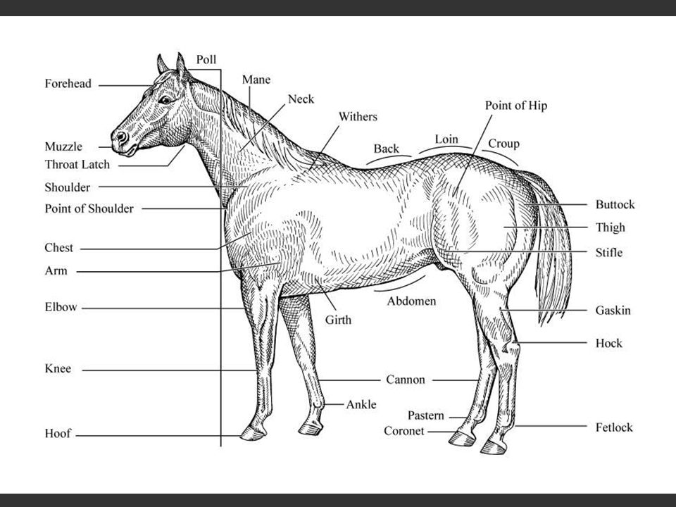 CONFORMATION OF HORSES - ppt video online download