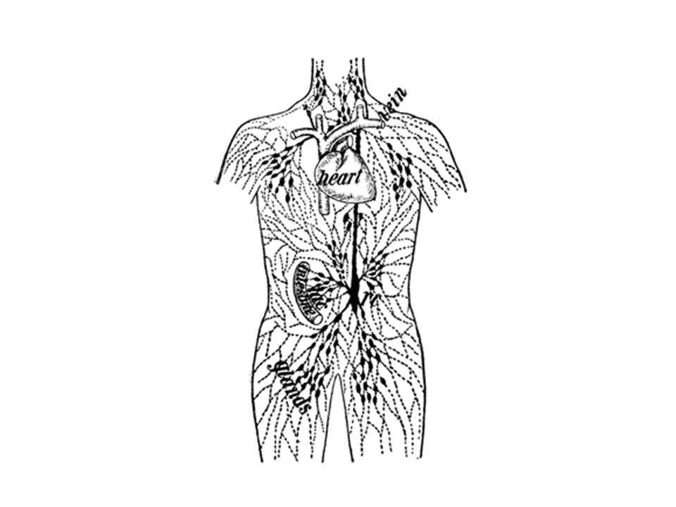 Lymphatic System The Body Has A Second Transportation System Which