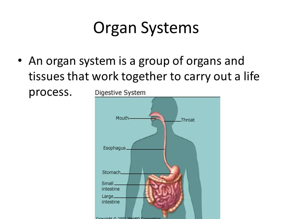 How Do Organs Work Together Organs Work Together In Organ Systems