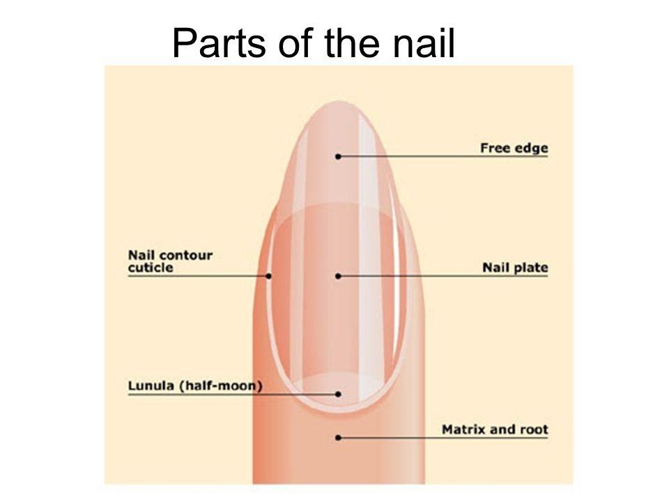 5 Parts Of The Nail