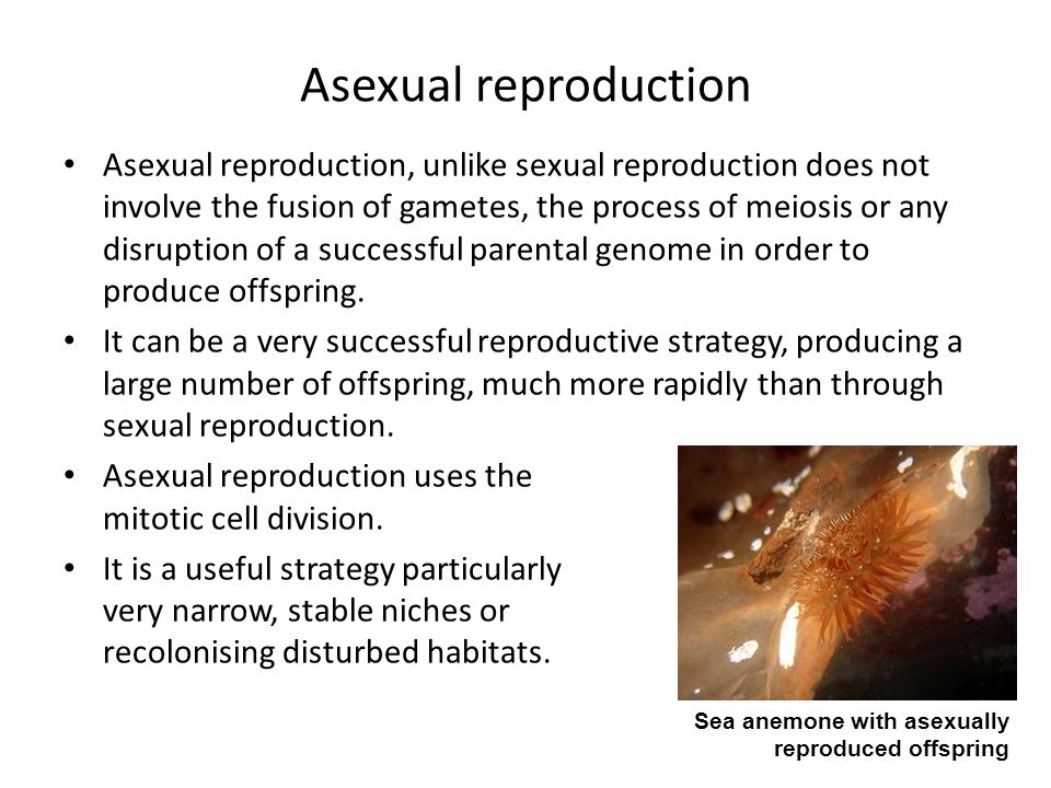 Sea anemone sexual reproduction