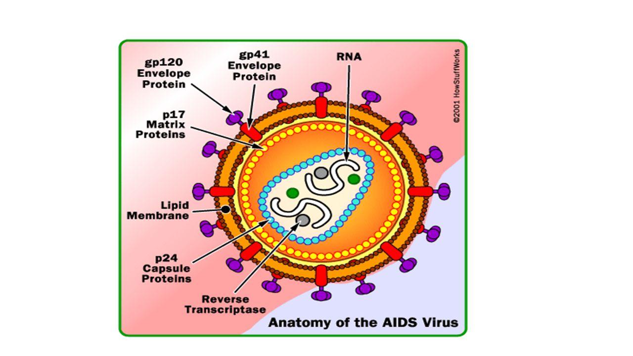 Human Immunodeficiency Virus (HIV) & Acquired Immune Deficiency ...