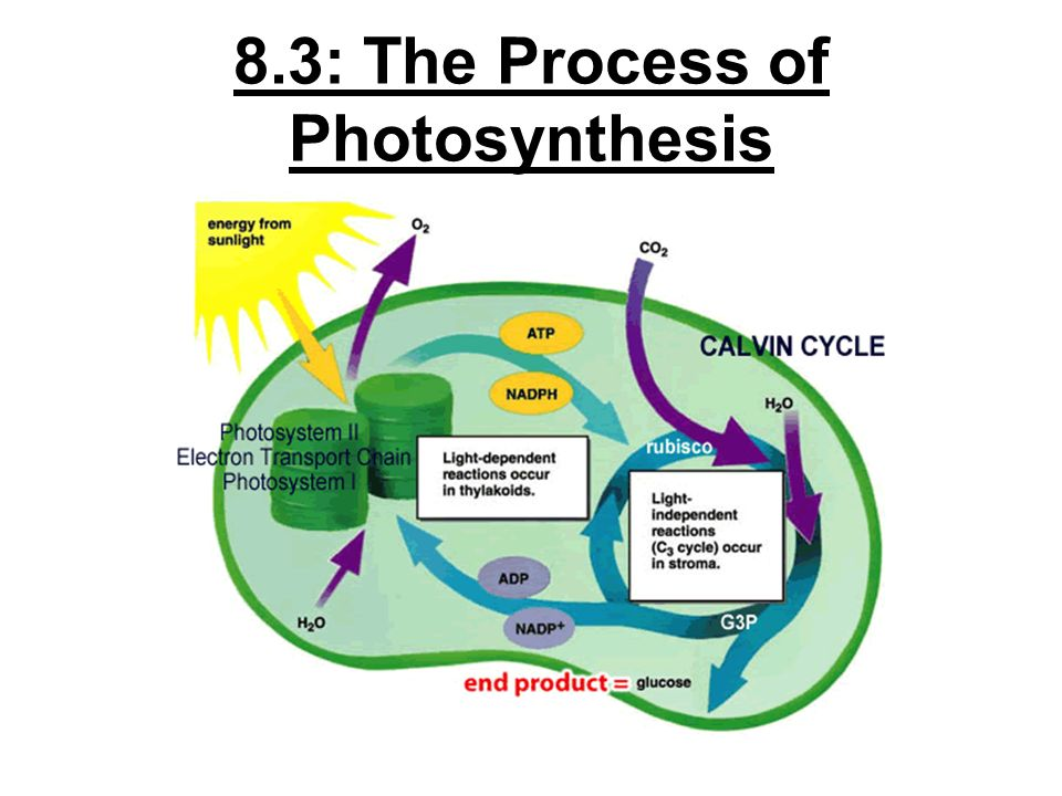 a description of the process of photosynthesis Process description of photosynthesis specifically for you the photosynthesis process is divided into major parts, namely the light dependent and dark or light independent reactions the capturing of solar energy to produce the addenosine triphosphate molecule leads to the occurrence of.