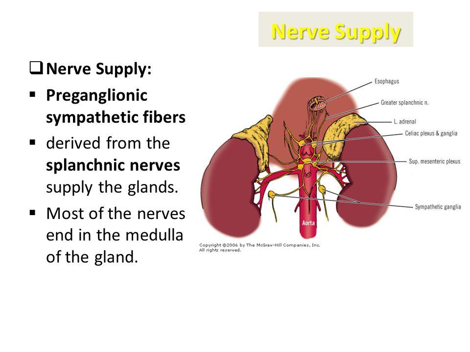 Adrenal Suprarenal Glands Anatomy Embryology Dr Zeenat Zaidi