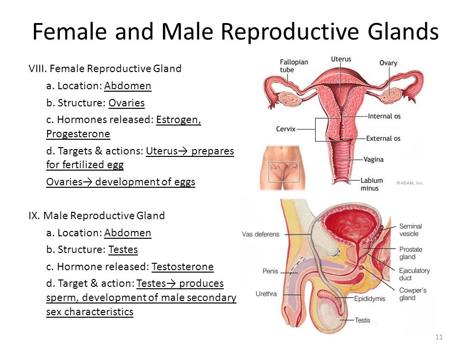 Male and female sex glands