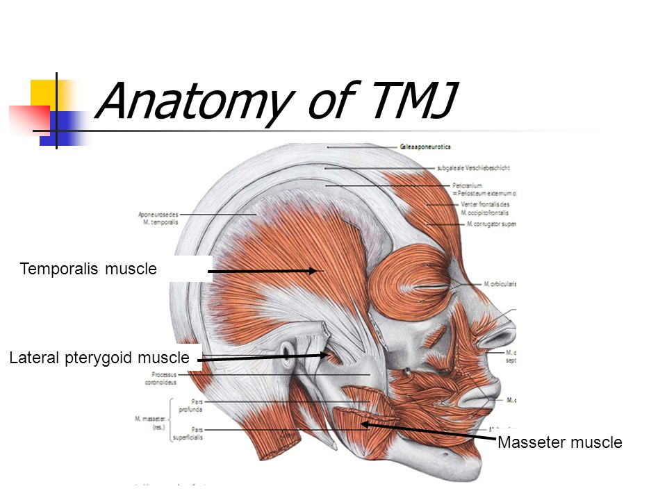 Tmj Muscles Anatomy Images - human body anatomy