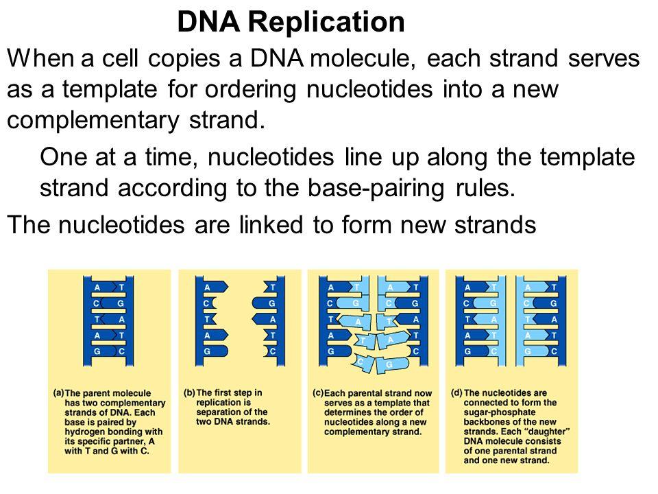 When a cell copies a dna molecule each strand serves as a template when a cell copies a dna molecule each strand serves as a template for ordering maxwellsz