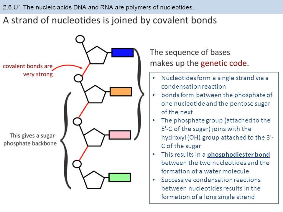 Concept Map Nucleic Acids.Nucleic Acid Diagram Single Strand Wiring Schematic Diagram