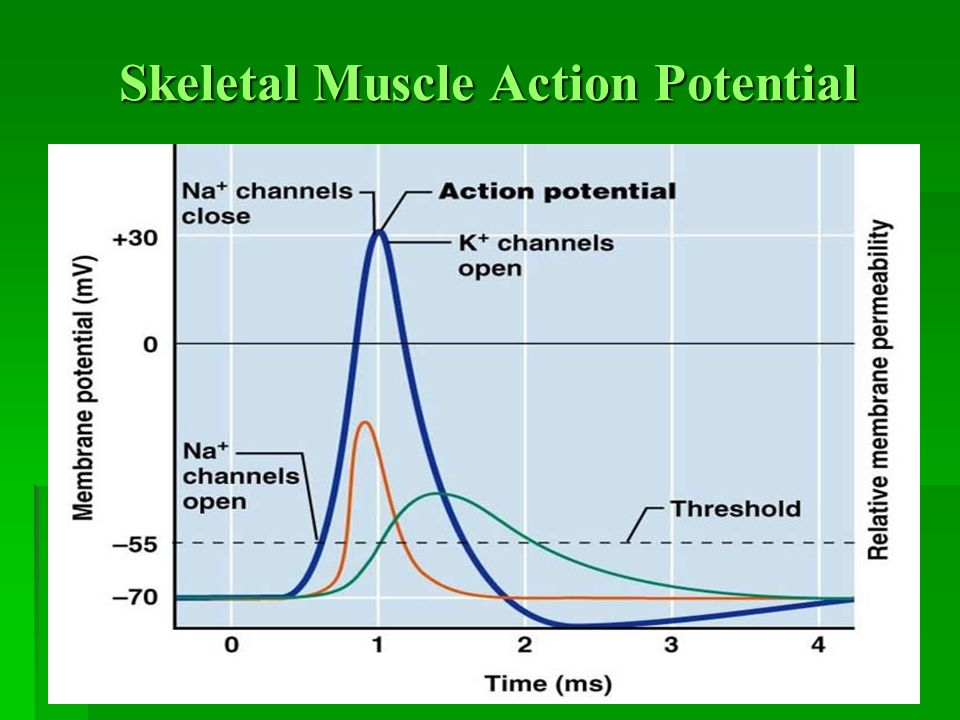 Electrophysiology of muscles skeletal muscle action potential 7 skeletal muscle action potential ccuart Choice Image
