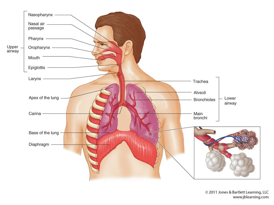 The Respiratory System: Anatomy Structures of the body that ...