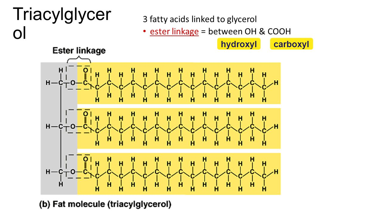 Fat s glycerol (3C alcohol) + fatty acid fatty acid = long HC tail with carboxyl (COOH) group head