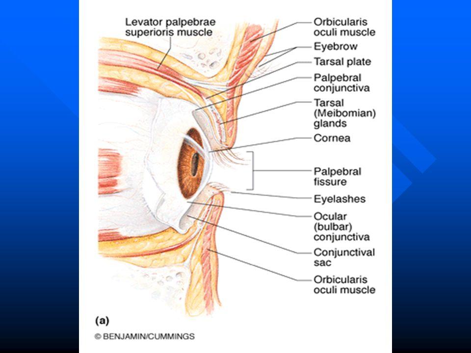 Amazing Eye Glands Anatomy Collection - Internal organs diagram ...