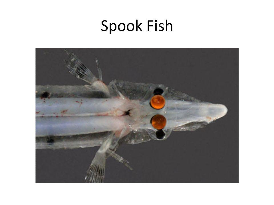 Spook Fish. Eyes How We See Eye Anatomy Nocturnal Eye. - ppt download
