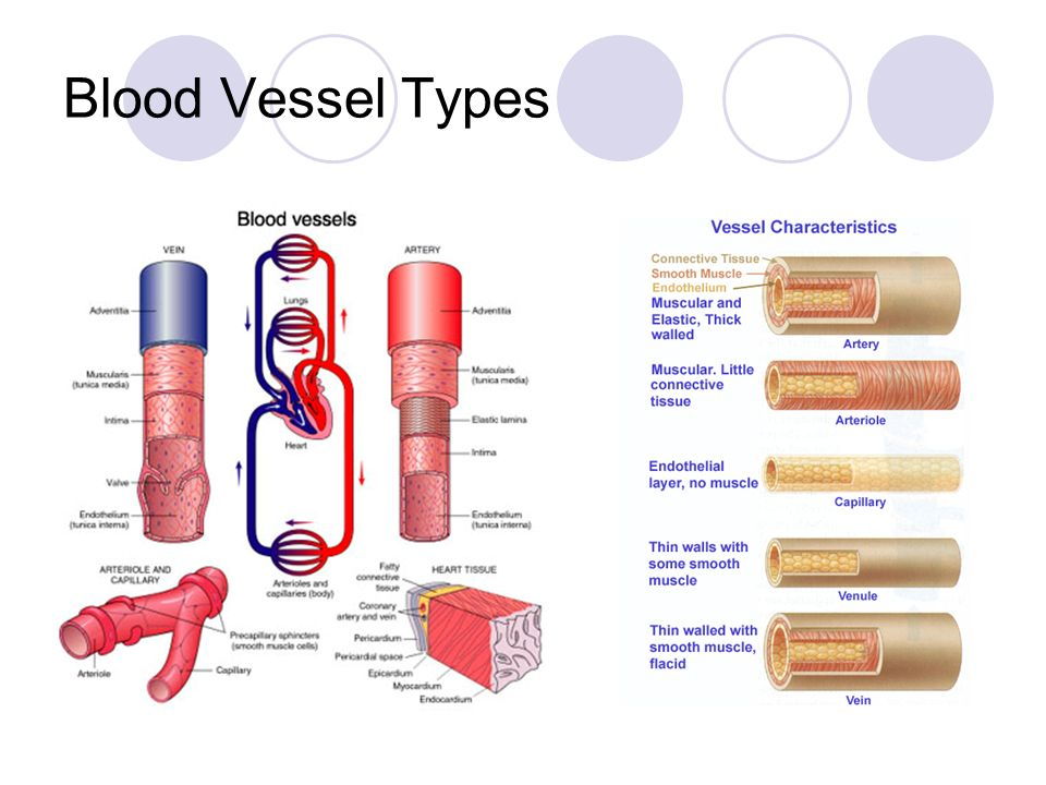 Cardiovascular System Blood Vessels Circulatory System Blood