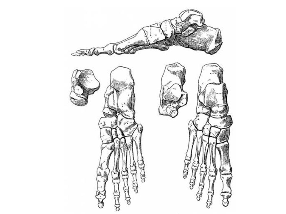 Anklelower Leg Anatomy