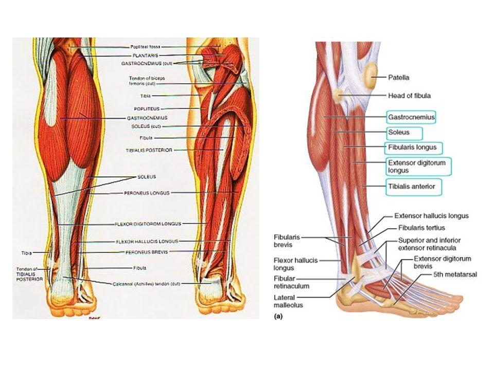 Anklelower Leg Anatomy Ppt Video Online Download