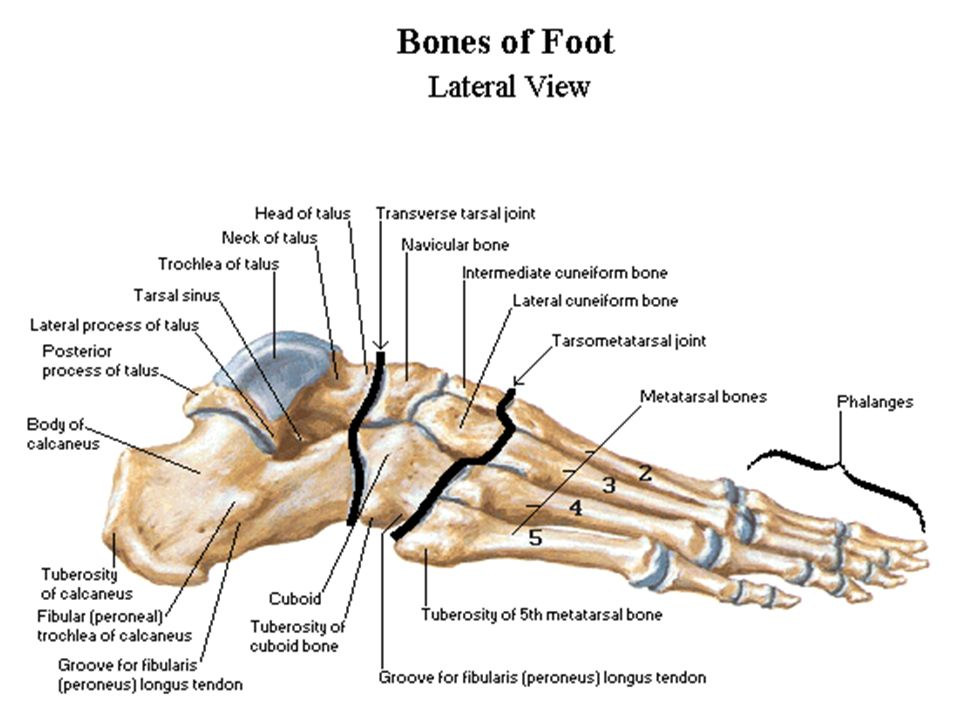 Ankle/Lower Leg Anatomy - ppt video online download