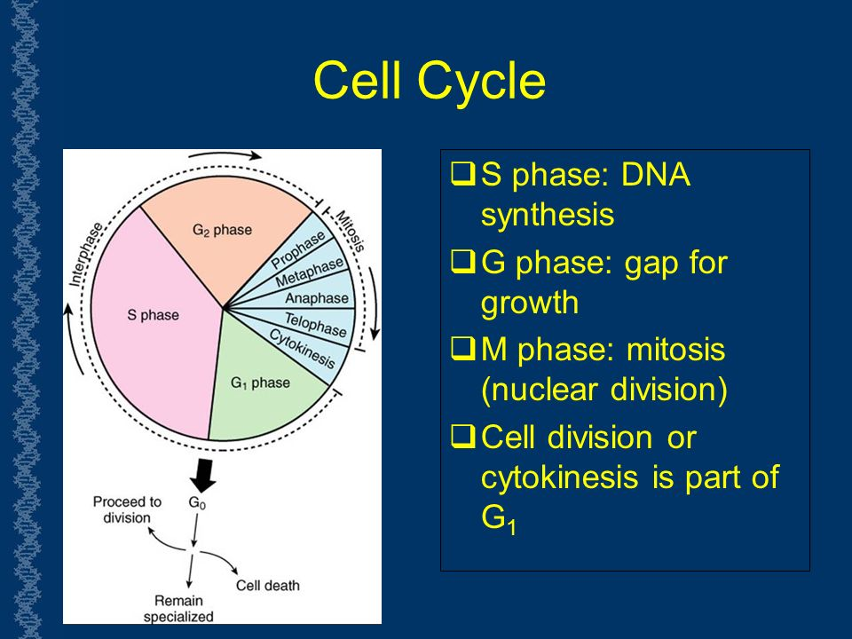 Cell Cycle  S phase: DNA synthesis  G phase: gap for growth  M phase: mitosis (nuclear division)  Cell division or cytokinesis is part of G 1
