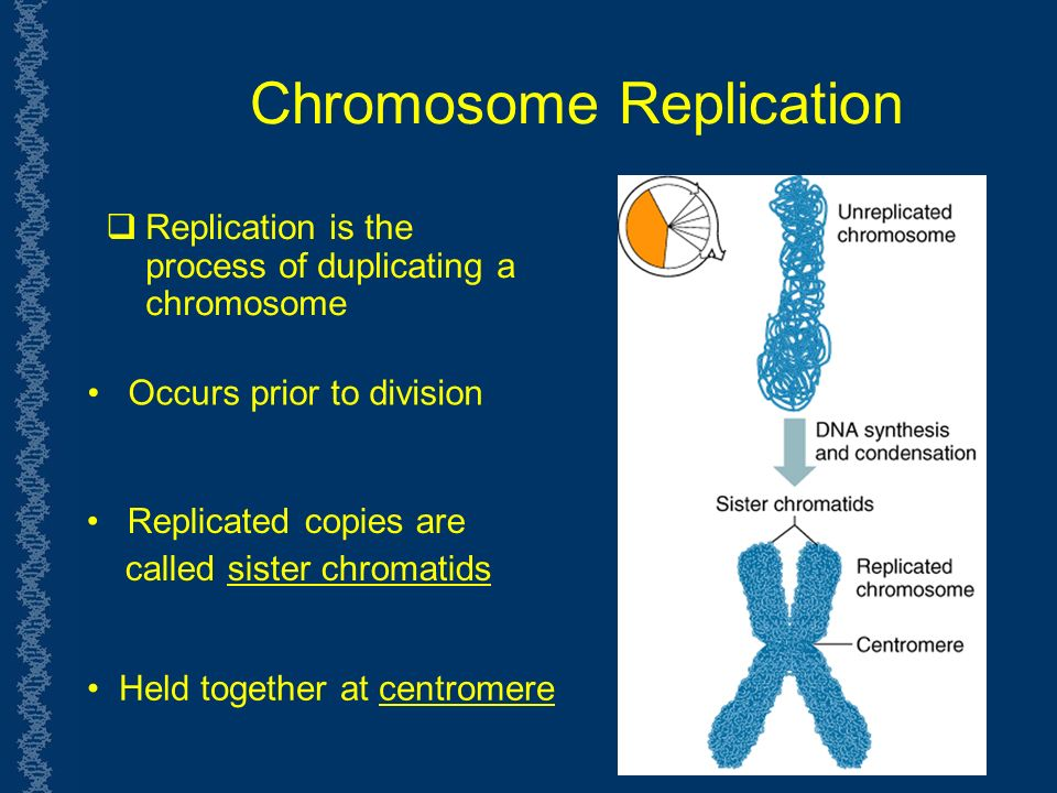Chromosome Replication  Replication is the process of duplicating a chromosome Occurs prior to division Replicated copies are called sister chromatids Held together at centromere
