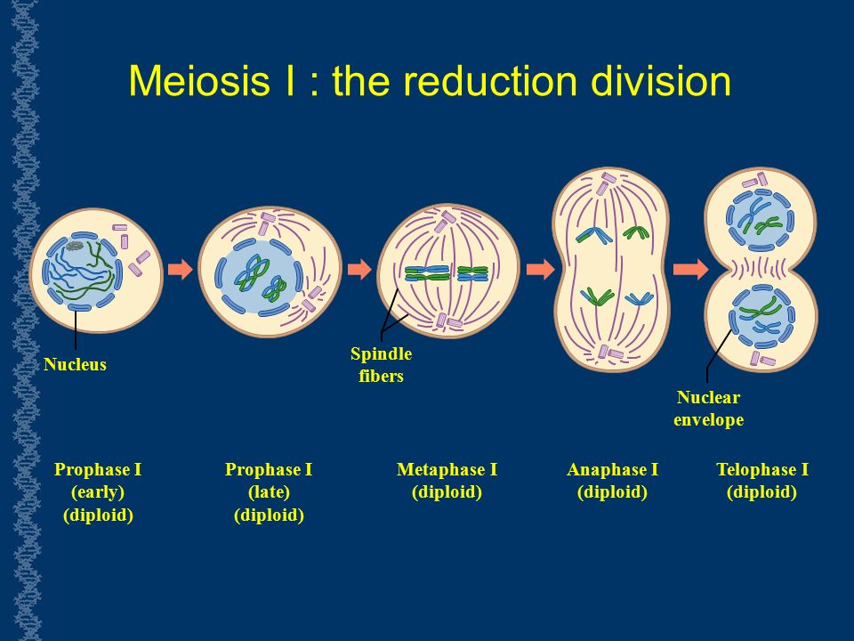 Meiosis I : the reduction division Prophase I (early) (diploid) Prophase I (late) (diploid) Metaphase I (diploid) Anaphase I (diploid) Telophase I (diploid) Nucleus Spindle fibers Nuclear envelope