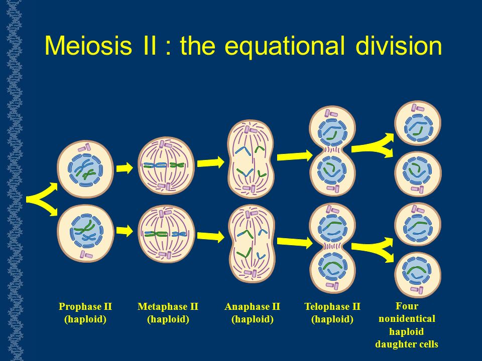 Meiosis II : the equational division Prophase II (haploid) Metaphase II (haploid) Anaphase II (haploid) Telophase II (haploid) Four nonidentical haploid daughter cells