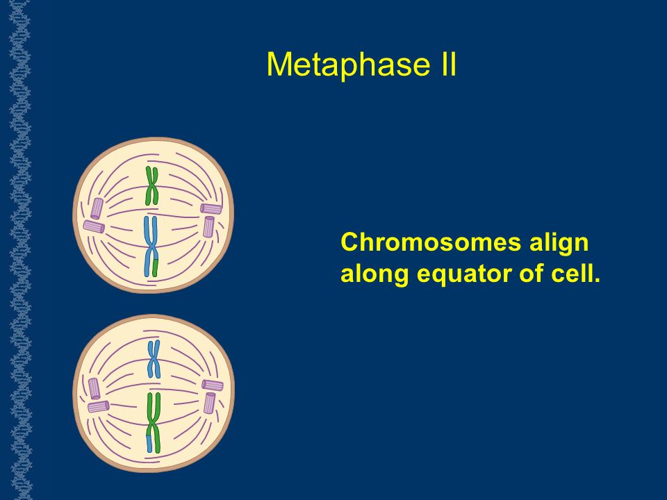 Metaphase II Chromosomes align along equator of cell.
