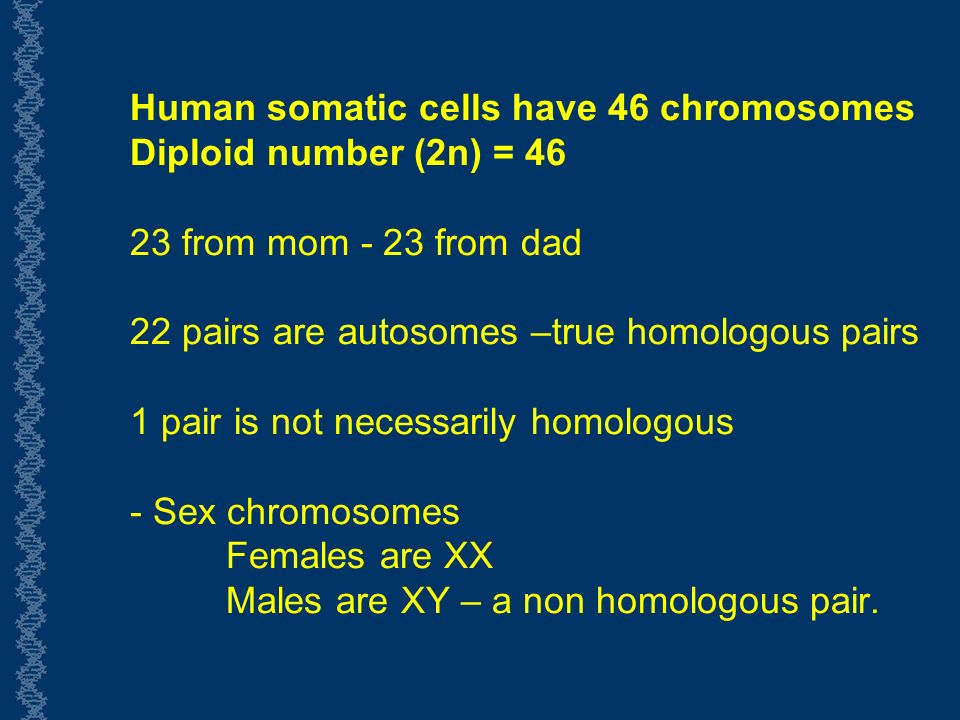 Human somatic cells have 46 chromosomes Diploid number (2n) = from mom - 23 from dad 22 pairs are autosomes –true homologous pairs 1 pair is not necessarily homologous - Sex chromosomes Females are XX Males are XY – a non homologous pair.