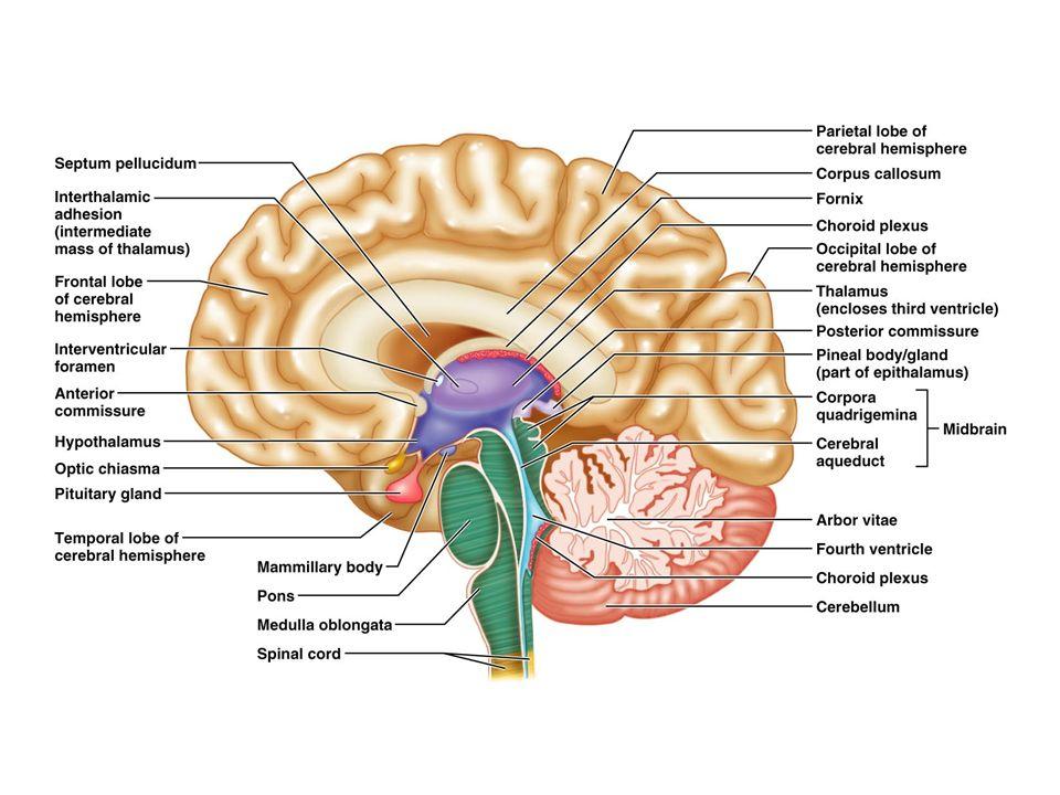 Arborvitae Brain Human Anatomy Diagram - Auto Electrical Wiring ...