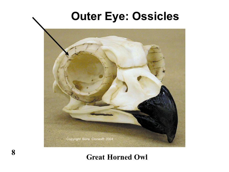 Bird Eyes - Size 2 3 Visual Acuity Eyelids 6 4 Tear Glands. - ppt ...