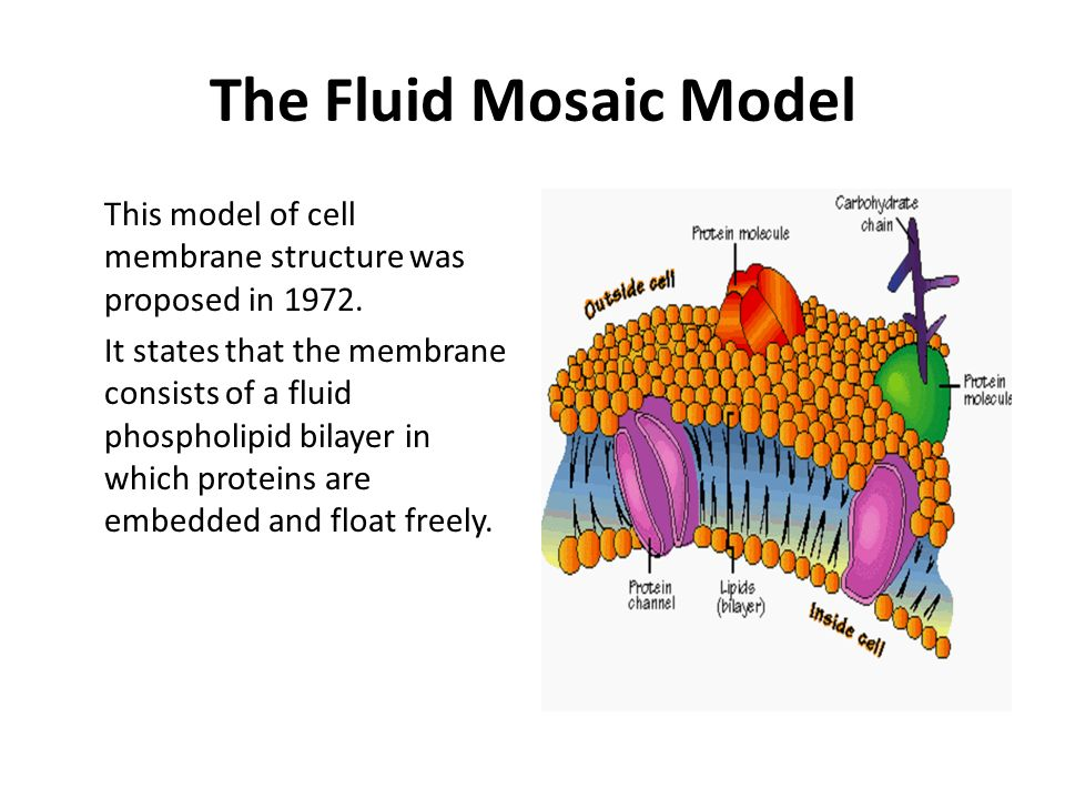 describe the fluid mosaic model of membrane structure