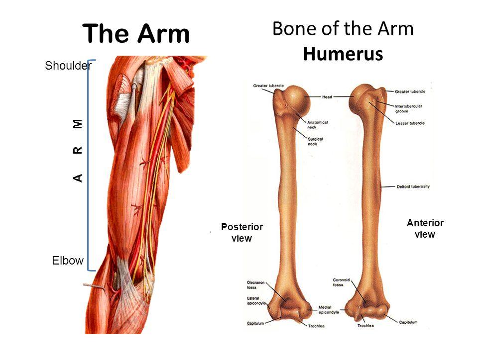 Muscles of arm & cubital fossa D.Rania Gabr D.Sama-ul-Haque. - ppt ...
