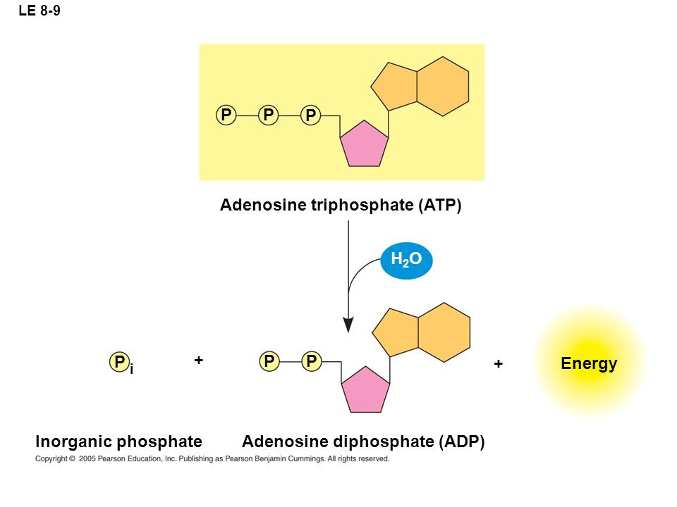 LE 8-9 Adenosine triphosphate (ATP) Energy PP P PP P i Adenosine diphosphate (ADP) Inorganic phosphate H2OH2O + +