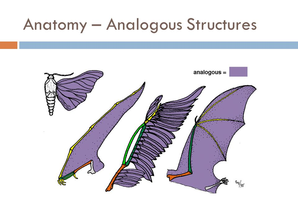 Anatomy – Analogous Structures  Define:  Structures that perform similar function but are not similar in origin.