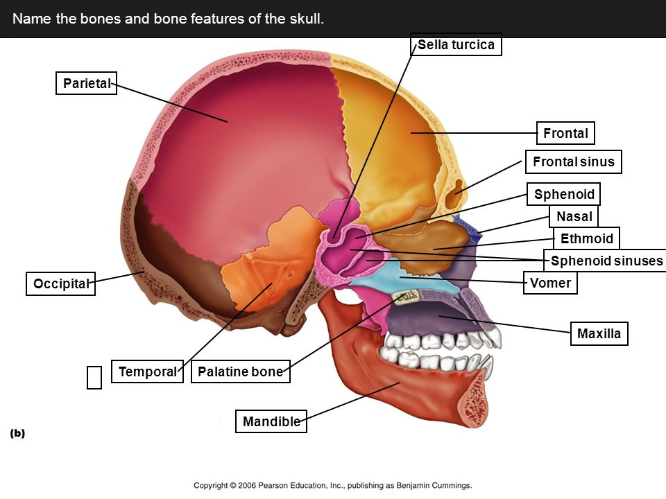 Human Skull The Fetal Skull Discuss In Your Groups The Following