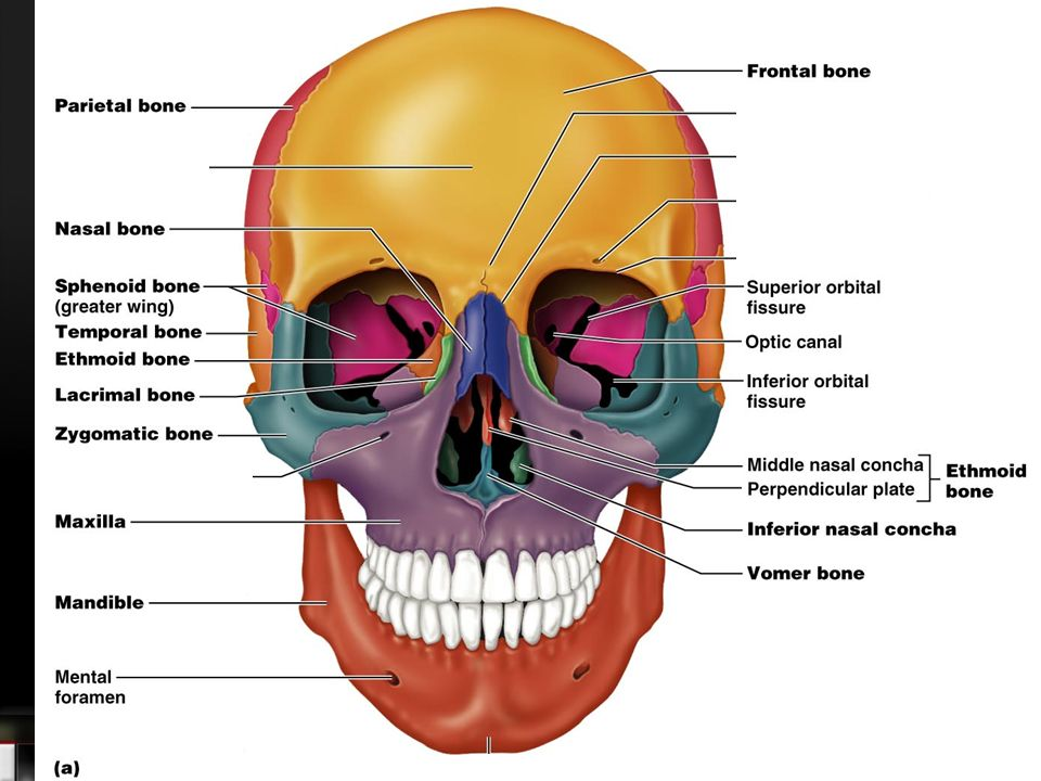 Human Skull. The fetal skull Discuss in your groups the following ...