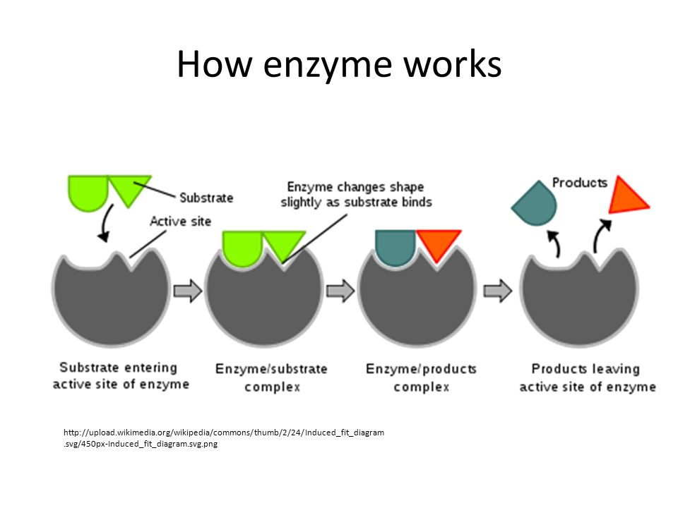 How enzyme works