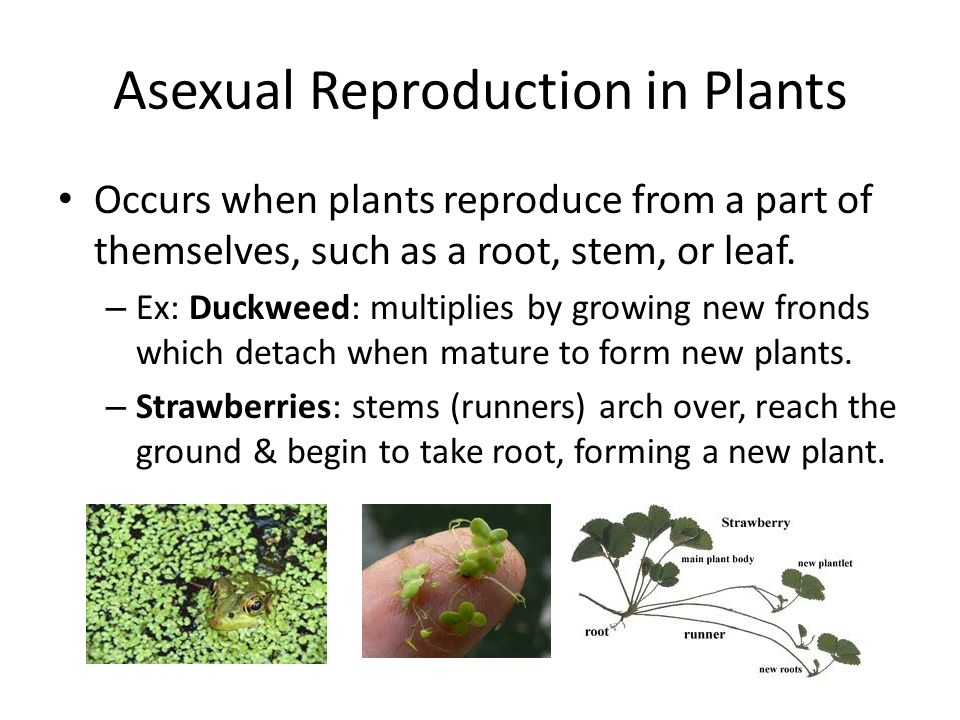 Asexual plants runners knee