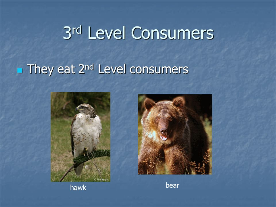 3 rd Level Consumers They eat 2 nd Level consumers They eat 2 nd Level consumers hawk bear