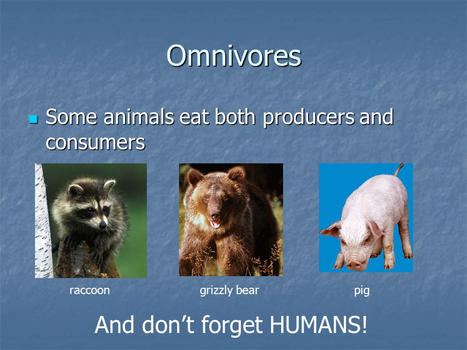 Omnivores Some animals eat both producers and consumers Some animals eat both producers and consumers raccoongrizzly bearpig And don't forget HUMANS!