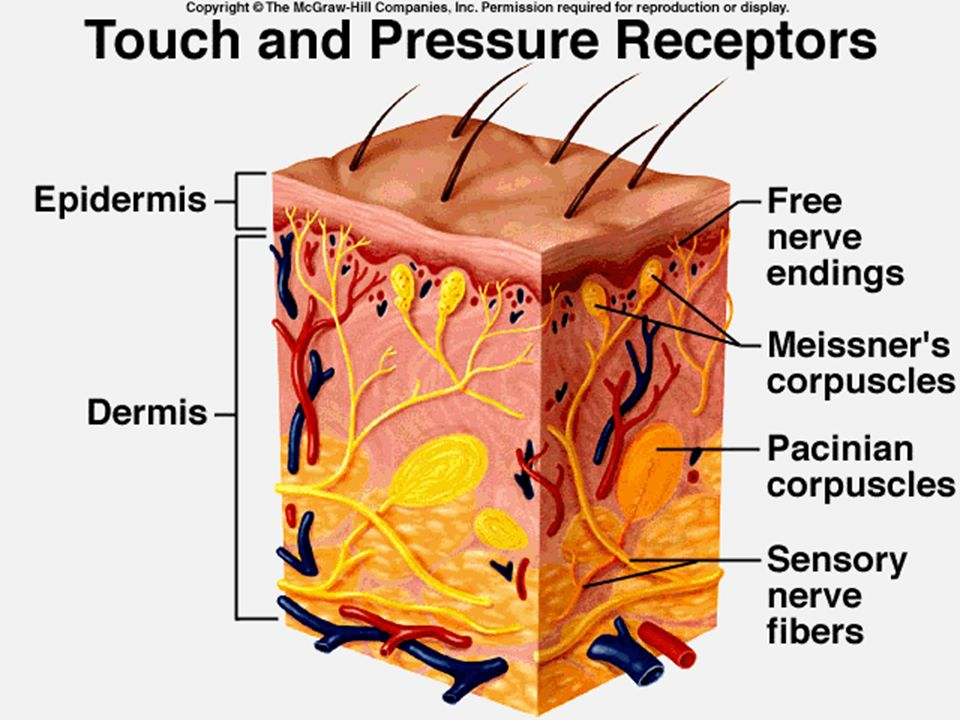 Somatic and Special Senses Anatomy ch. 10. Touch and Pressure Senses ...