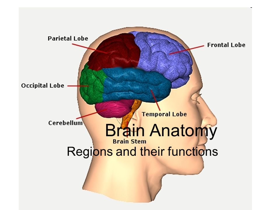 Brain Anatomy Regions and their functions. 4 major regions Cerebral ...