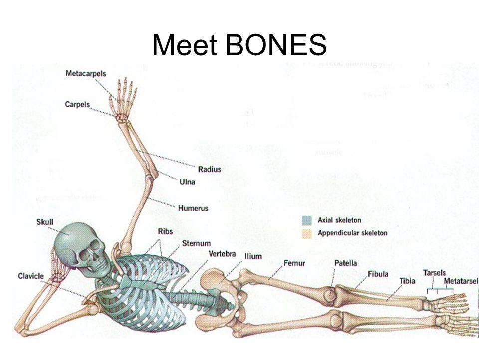 Skeletal System Bones - the organs of the skeletal system. - ppt ...