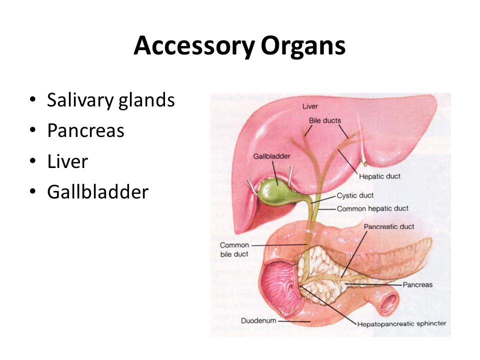 Which Of The Following Is An Accessory Organ Of Digestion Classy Accessory Organs In Digestion Their Associated Enzymes Ppt Download